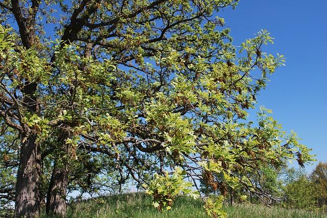 フルグレインブライドルレザーの鞣しに使われるオークの木