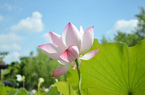 スピリチュアルの象徴 蓮の花